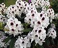 City of London Cemetery - flowering shrubs 13 Detail.jpg