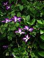 Clematis Venosa Violacea - Flickr - peganum.jpg