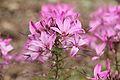Cleome hassleriana 'Senorita Rosalita'-IMG 4235.jpg