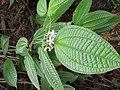 Clidemia hirta-1-peppara wildlife-kerala-India.jpg