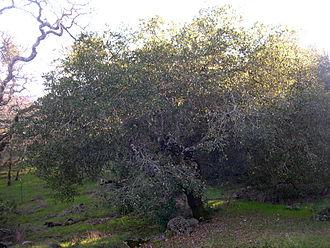 Quercus agrifolia - Coast live oak, Sonoma County
