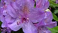 Close Up of Our Lilac Rhododendron (8397941535).jpg