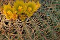 Close view of delicate greenish yellow blossoms in cactus spines.jpg