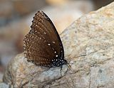 Close wing position of Elymnias malelas Hewitson, 1863 – Spotted Palmfly WLB1E7A1833.jpg