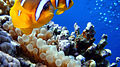Clown fish at Sharm El Naga beach.jpg