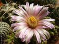 CmacromeriViolaceae003 (525527681).jpg