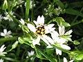 Coccinelle sur une fleur - panoramio.jpg