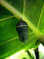 Cocoon Monarch Butterfly.jpg