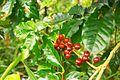 Cofefe beans at Parque Guanayara.jpg