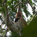 Colaptes auratus chrysocaulosus, Cuban Northern Flickr - Flickr - gailhampshire (3).jpg