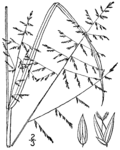 Coleataenia stipitata (as Panicum stipitatum) BB-1913.png