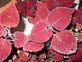Coleus blumei brilliancy-yercaud-salem-India.JPG