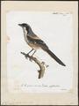 Collyrio pyrrhonotus - 1825-1834 - Print - Iconographia Zoologica - Special Collections University of Amsterdam - UBA01 IZ16600403.tif