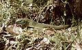Colorful, lizard Fortepan 60224.jpg