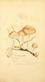 Coloured Figures of English Fungi or Mushrooms - t. 247.png
