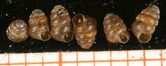 Micromollusk - Six shells of the land snail Columella edentula, the scale bar is in mm