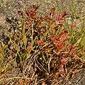 Common Bilberry (Vaccinium myrtillus) - Oslo, Norway 2020-09-06.jpg