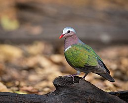 Common Emerald Dove.jpg