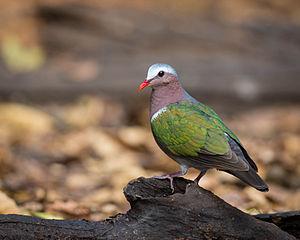 Common emerald dove - Image: Common Emerald Dove