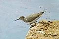 Common Sandpiper (13033541214).jpg