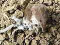 Common Shrew (Sorex araneus), dead (19801209398).jpg