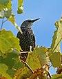 Common Starling (Sturnus vulgaris) (24318508433).jpg