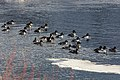 Common goldeneyes on Lamar River (62b80a19-9da8-479a-879c-e3e48c8740e4).jpg