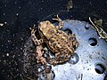 Common or garden toad - geograph.org.uk - 879004.jpg