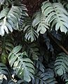 Compound leaves,big,mumbai university..jpg
