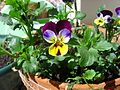 ComputerHotline - Viola tricolor (by).JPG