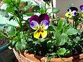 ComputerHotline - Viola tricolor (by).JPG