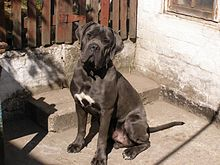 The Breed Candycane Corso