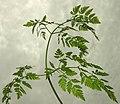 Conium maculatum leaf (18).jpg