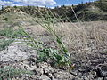 Conringia orientalis (7460992622).jpg
