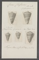 Conus classiarius - - Print - Iconographia Zoologica - Special Collections University of Amsterdam - UBAINV0274 086 08 0025.tif