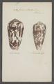 Conus striatus - - Print - Iconographia Zoologica - Special Collections University of Amsterdam - UBAINV0274 085 10 0063.tif