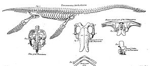 Plesiosaurus - Illustration of the skeletal anatomy of a Plesiosaurus dolichodeirus from Conybeare's 1824 paper that described an almost complete plesiosaur skeleton found by Mary Anning in 1823