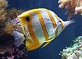 Copperband butterflyfish (Chelmon rostratus).jpg