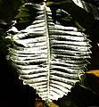 Copse Leaf - geograph.org.uk - 999356.jpg