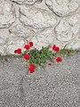 Coquelicots rouges au pied d'un mur.jpg