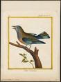 Coracias indica - 1700-1880 - Print - Iconographia Zoologica - Special Collections University of Amsterdam - UBA01 IZ16700227.tif
