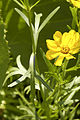 Coreopsis palmata — Frank Mayfield 003.jpg