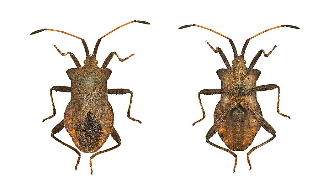 Dock bug. Dorsal and ventral view of adult.   Locality: Fronton, Midi-Pyrénées, France   Size :  (antennae and legs off) : 14 mm.