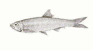 <i>Corica</i> (fish) Genus of fishes