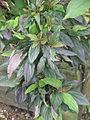 Cornus alba Hessei (19909853499).jpg
