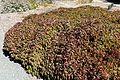 Cornus sericea 'Kelseyi' kz2.jpg