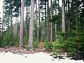 Corsica, Pinus Nigra forest of Monte Cinto.JPG