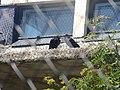 Corvus corax in Korkeasaari.jpg