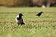 Corvus corone cornix Sievershagen 30-10-2010-2.jpg