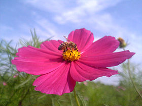Cosmos and bee.jpg